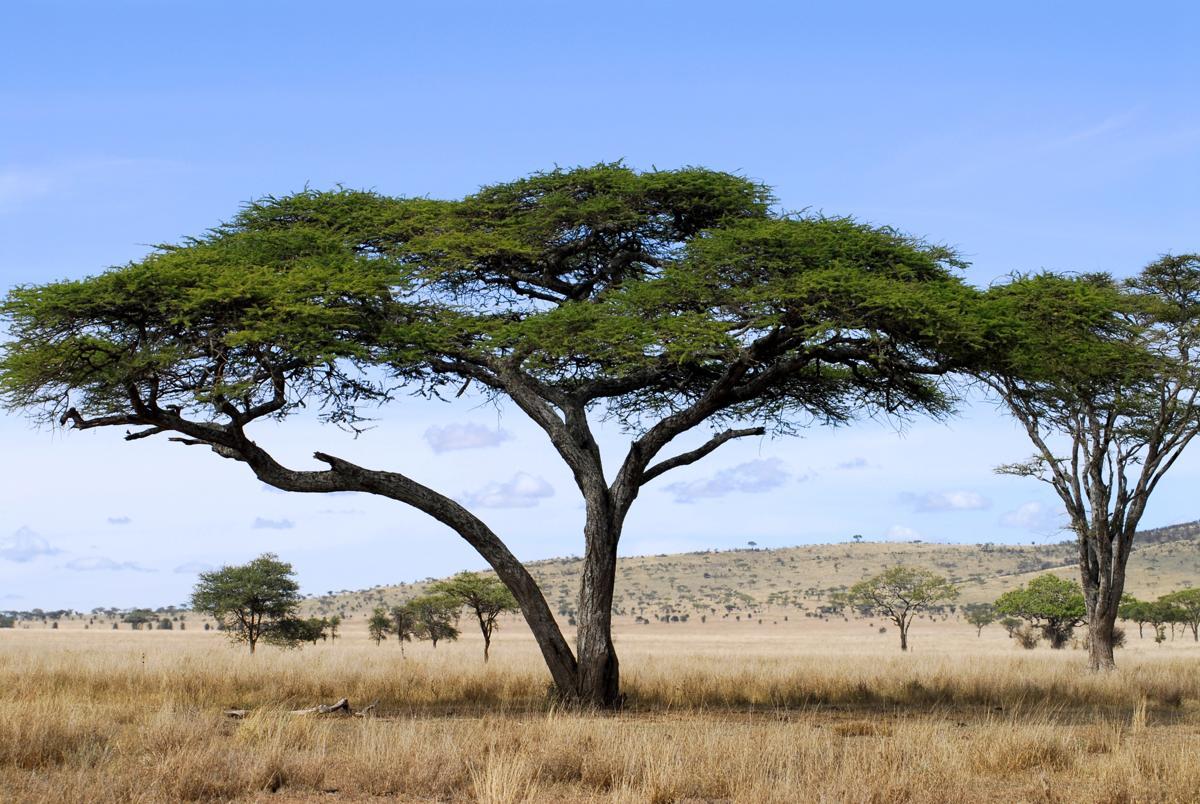 1200-115926065-acacia-tree.jpg