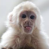 BabyCapuchin.png