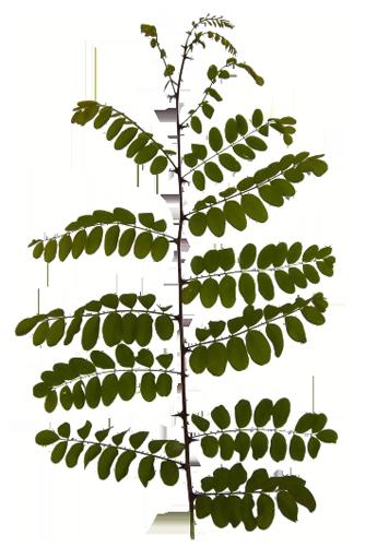 leaf-leaves-branch-acacia.png
