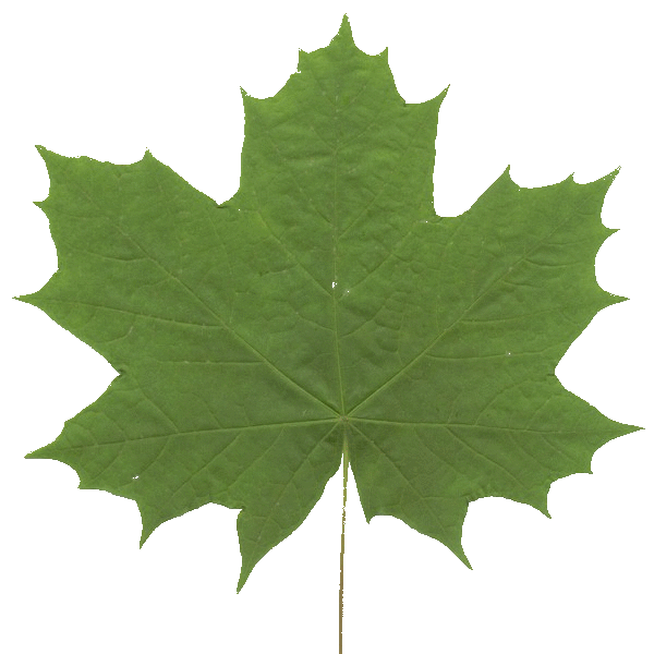 mapple_leaf.png