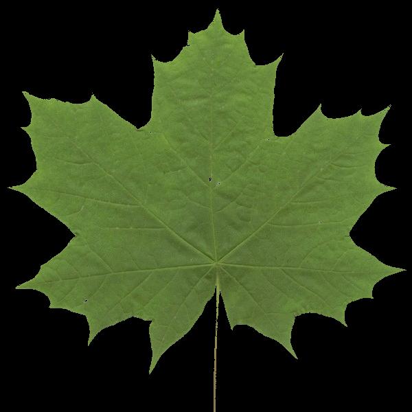 mapple_leaf.png